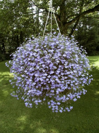 3 stk Lobelia Hot® Waterblue