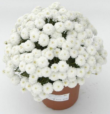 3 stk Argyranthemum frutescens - Summer Song White Imp.