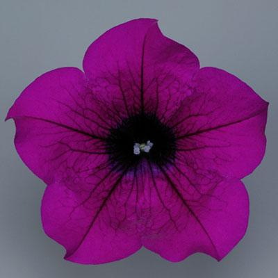 3 stk Classic Purple