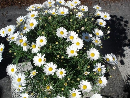 3 stk Argyranthemum frutescens - Summit white