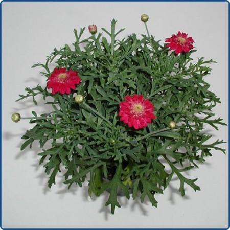 3 stk Argyranthemum frutescens - Cherry Harmony