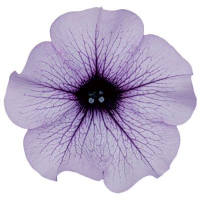 3 stk Classic - Compact Purple vein