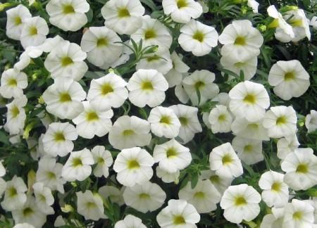 3 stk Caligrande™ White