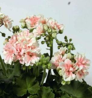 3 stk Pelargonia Ludwigsburger Flair