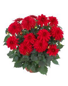 3 stk Dahlia - Hypnotica® Red