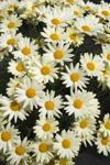 3 stk Argyranthemum frutescens - Summit Yellow