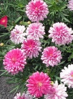 3 stk Margeritt (Daisy Crazy) SummerSong Blush Pink