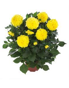 3 stk Dahlia - Hypnotica® Yellow
