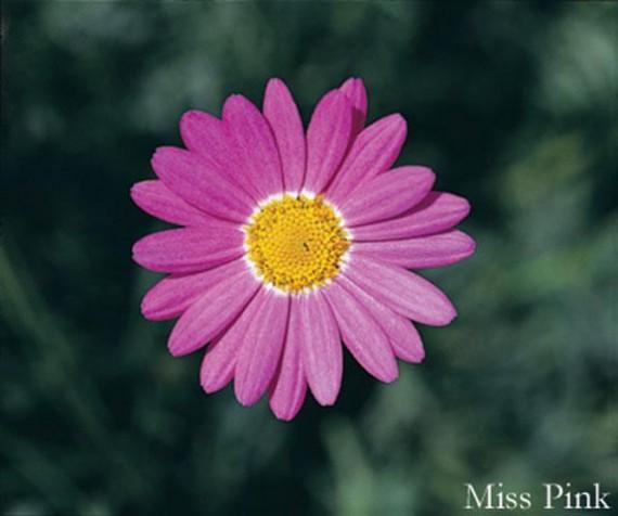 3 stk Argyranthemum - Daisy Crazy® Miss Pink