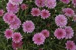 3 stk Argyranthemum frutescens - SummerSong Rose