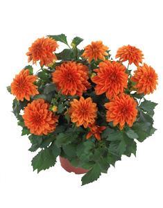 3 stk Dahlia - Hypnotica® Orange