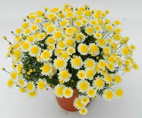 3 stk Argyranthemum frutescens - Sole Mio Imp.