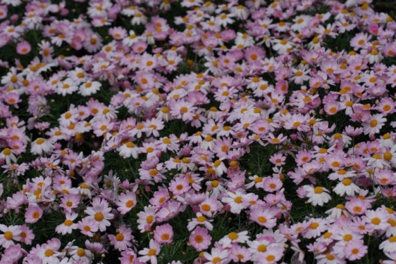 3 stk Argyranthemum frutescens - Summit Dark Pink