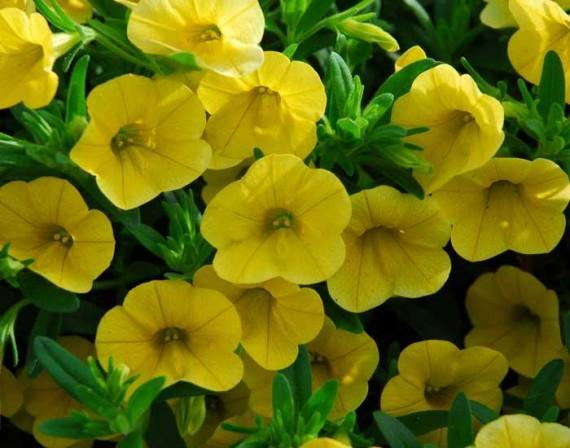 3 stk MiniFamous™ Deep Yellow
